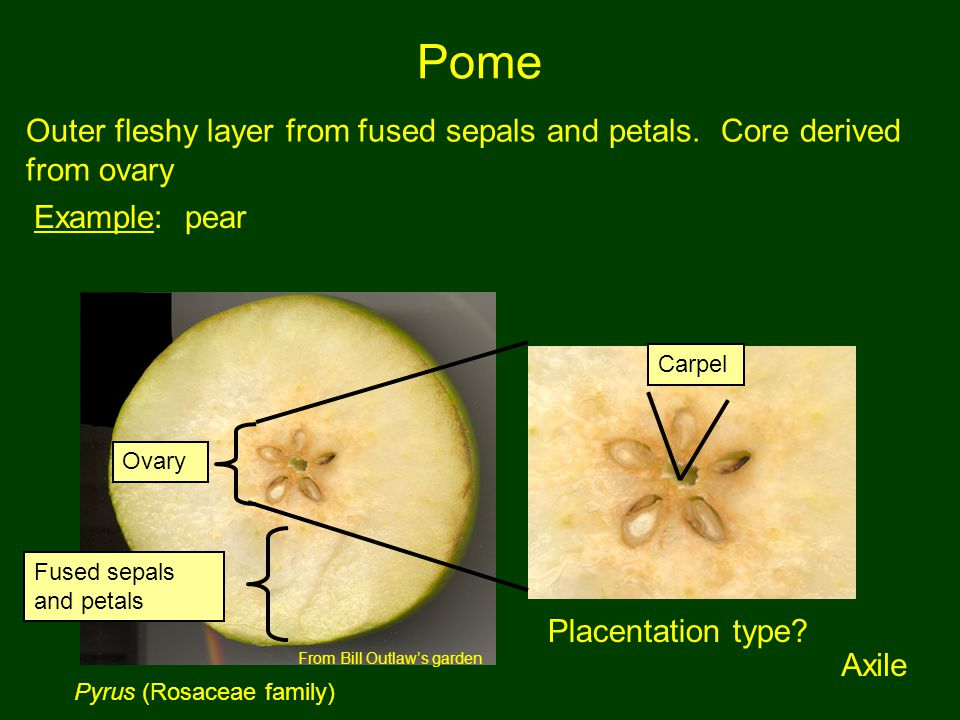 Pome Outer fleshy layer from fused sepals and petals. Core derived from ovary. Example: pear. Carpel.