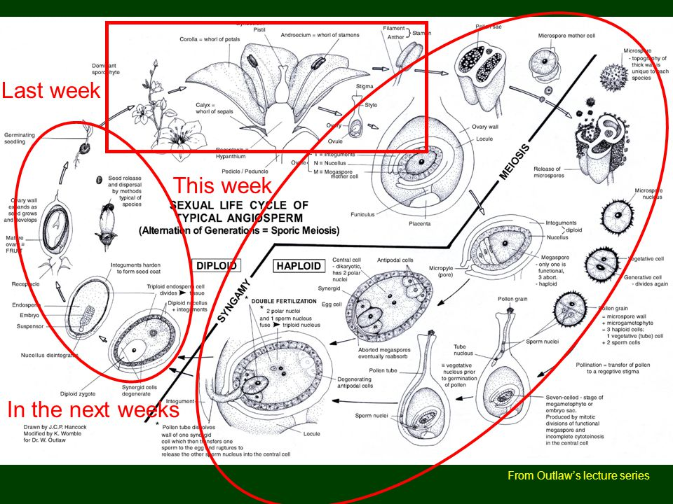 Angiosperm life cycle Last week This week In the next weeks
