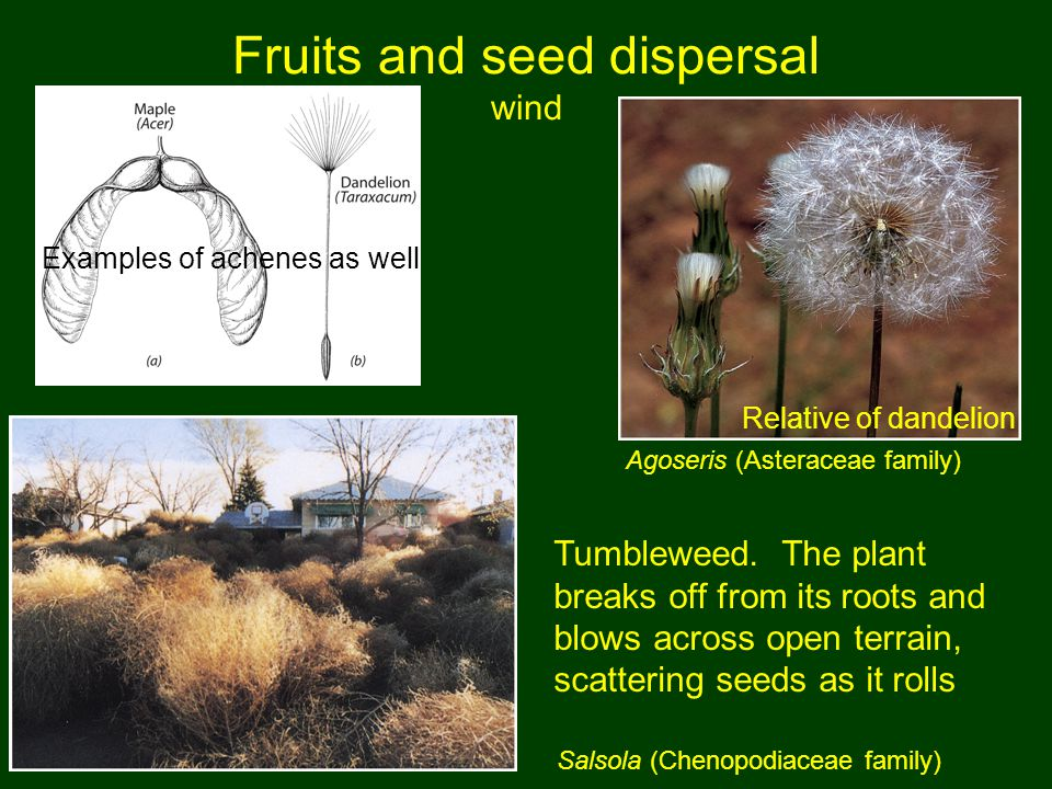 Fruits and seed dispersal wind