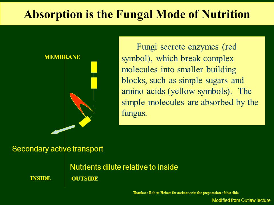 Absorption is the Fungal Mode of Nutrition