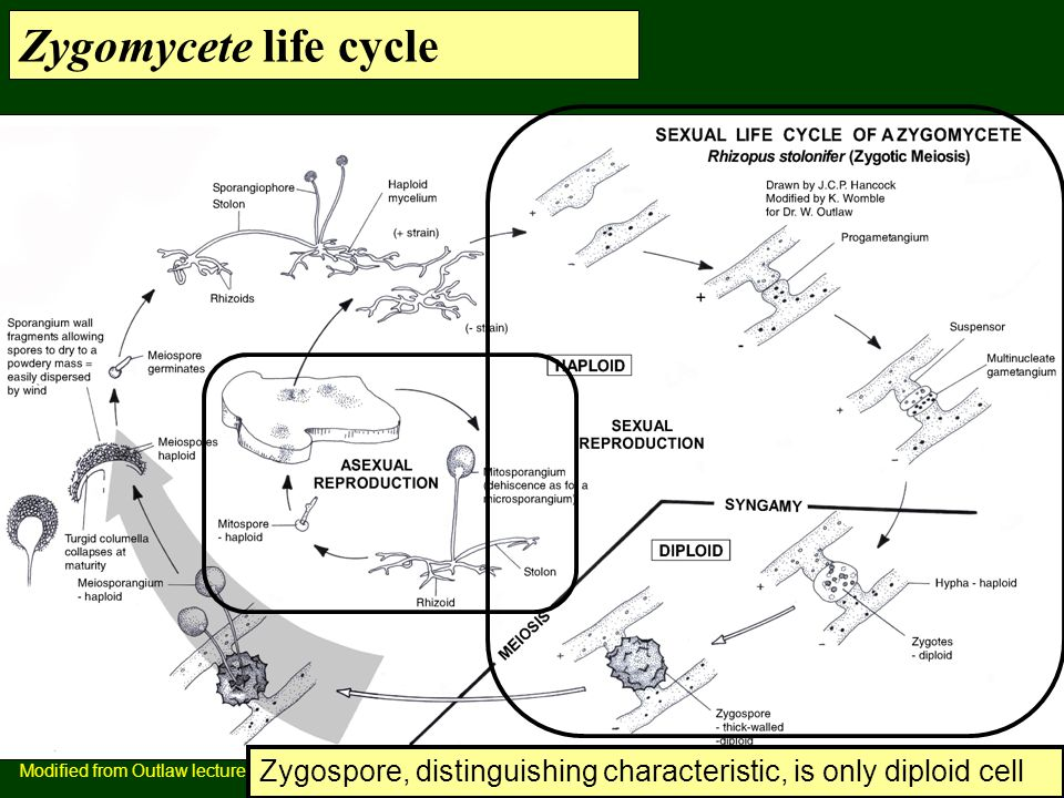 Zygomycete life cycle Modified from Outlaw lecture.