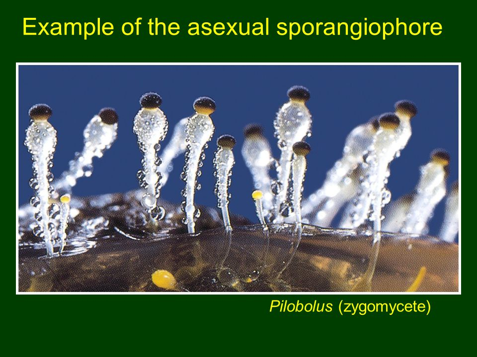 Example of the asexual sporangiophore