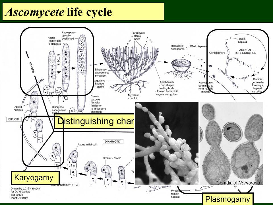 Ascomycete life cycle Distinguishing characteristics Karyogamy