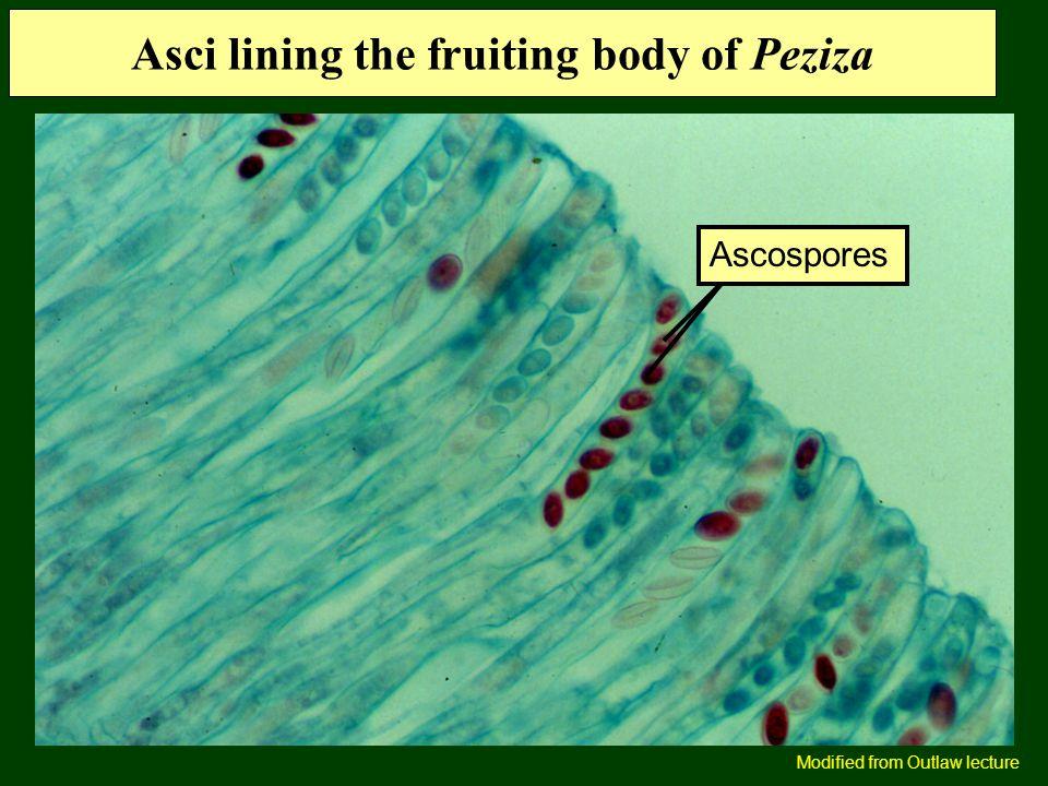 Asci lining the fruiting body of Peziza