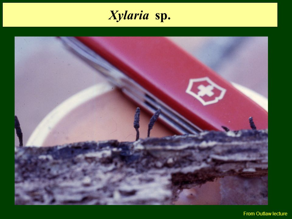 Xylaria sp. From Outlaw lecture