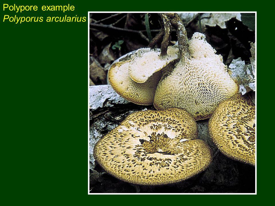 Polypore example Polyporus arcularius