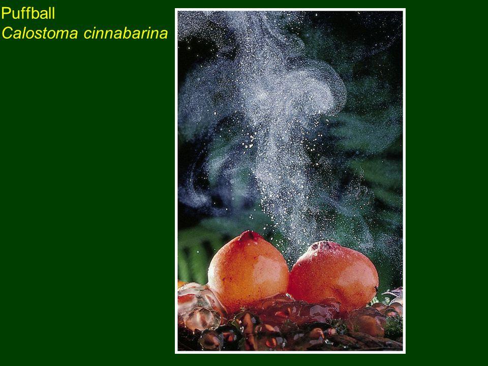 Puffball Calostoma cinnabarina