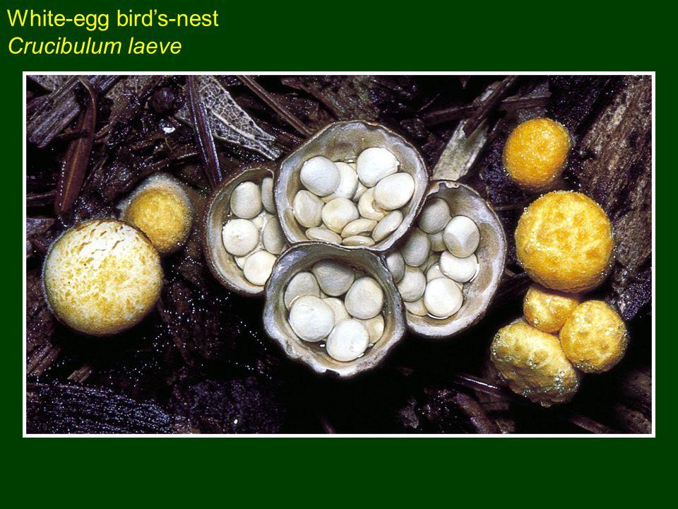 White-egg bird's-nest Crucibulum laeve