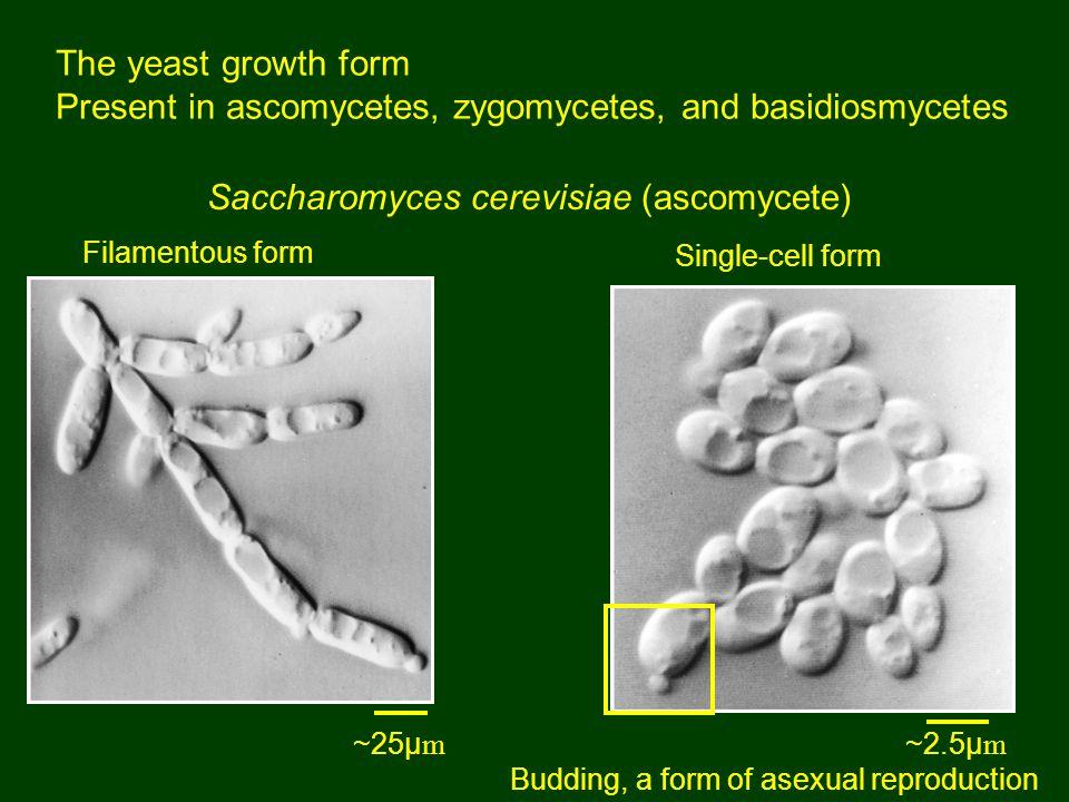 Present in ascomycetes, zygomycetes, and basidiosmycetes