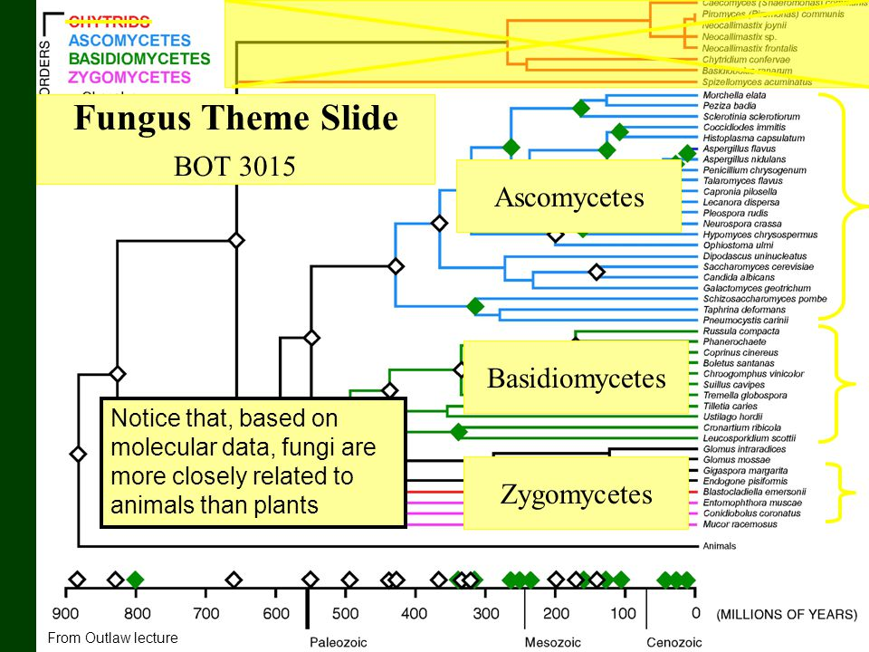 Fungus Theme Slide BOT 3015 Ascomycetes Basidiomycetes Zygomycetes