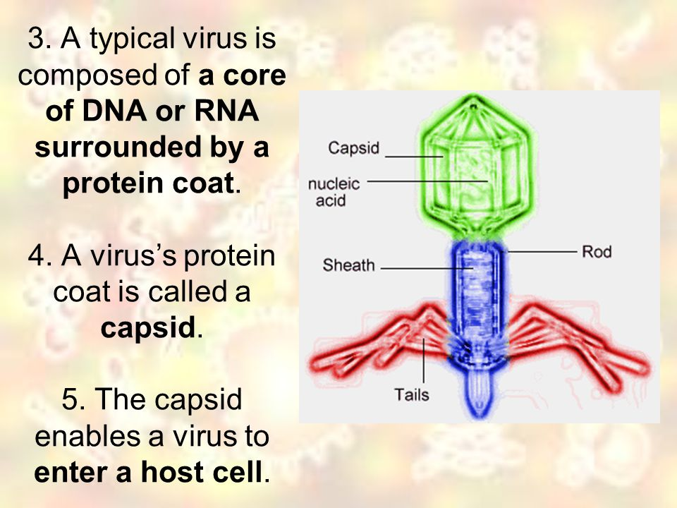 3. A typical virus is composed of a core of DNA or RNA surrounded by a protein coat.