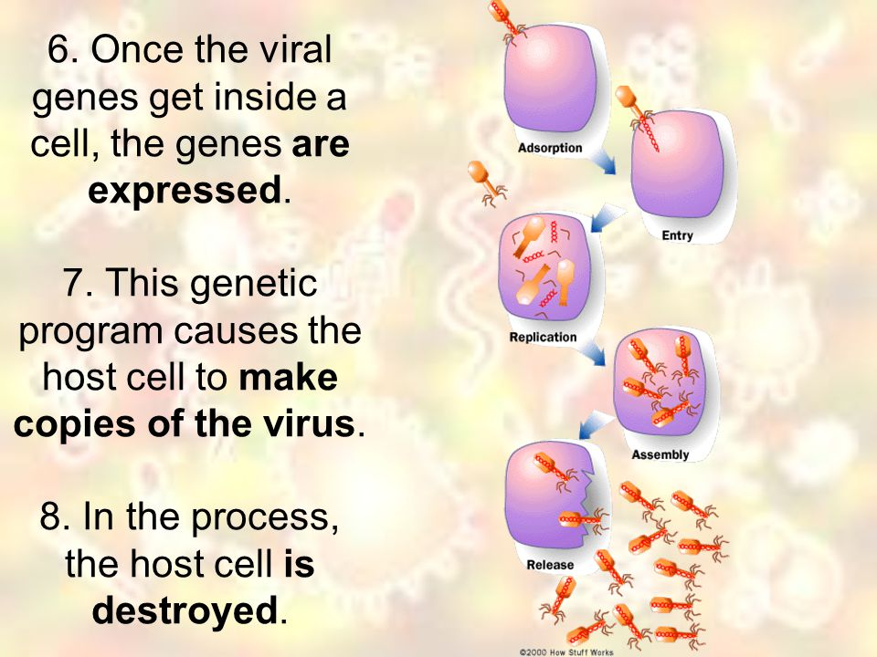 6. Once the viral genes get inside a cell, the genes are expressed. 7