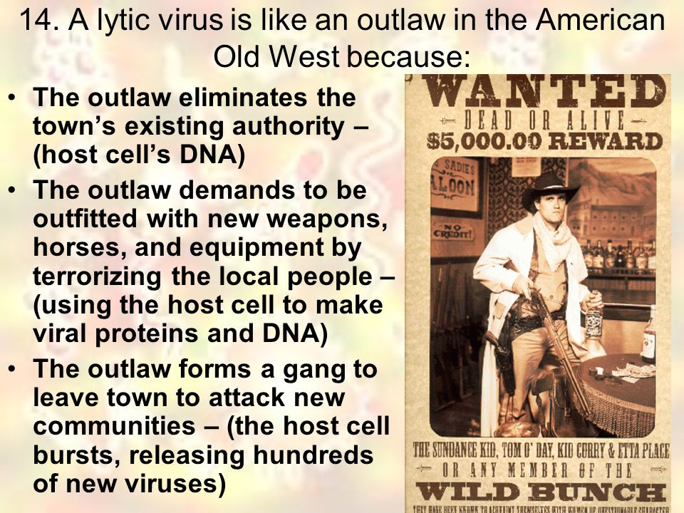 14. A lytic virus is like an outlaw in the American Old West because: