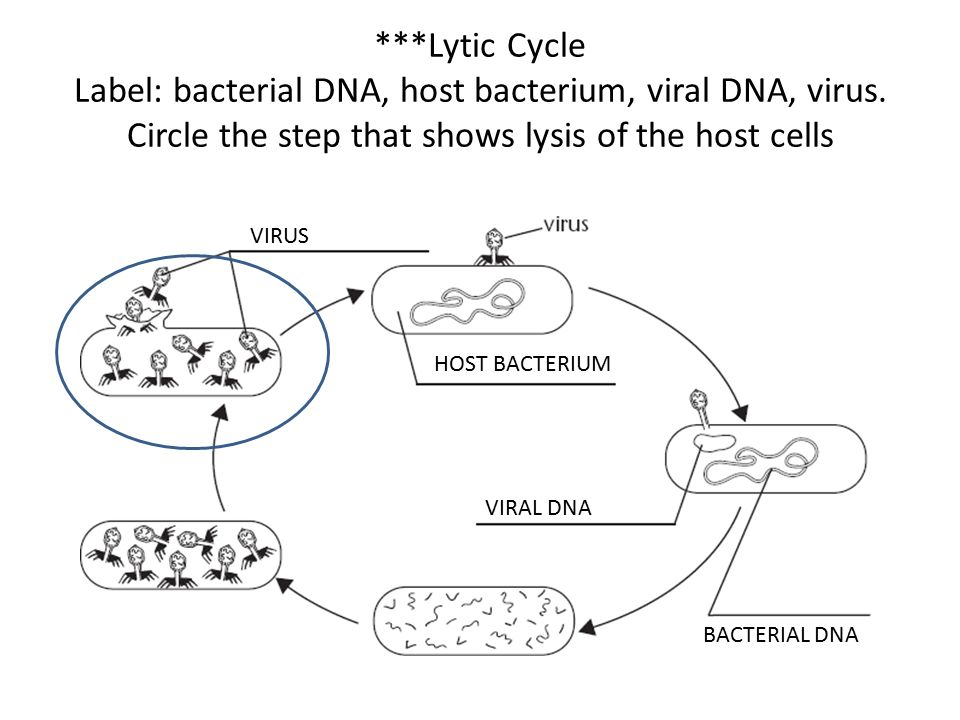 Lytic Cycle Label: bacterial DNA, host bacterium, viral DNA, virus