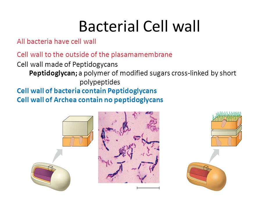 Bacterial Cell wall All bacteria have cell wall