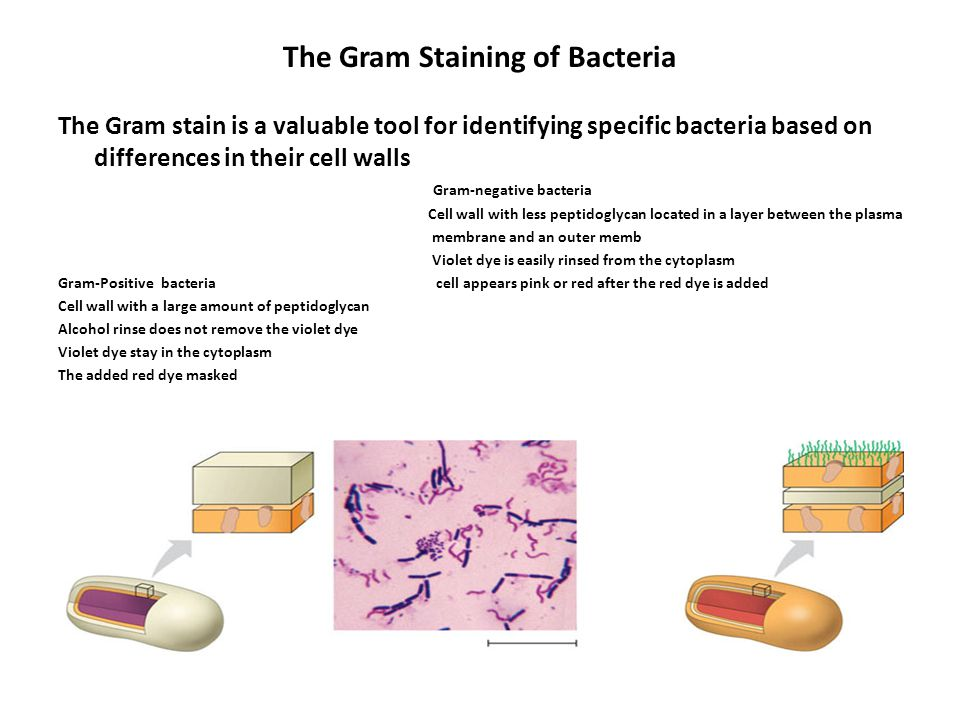 The Gram Staining of Bacteria
