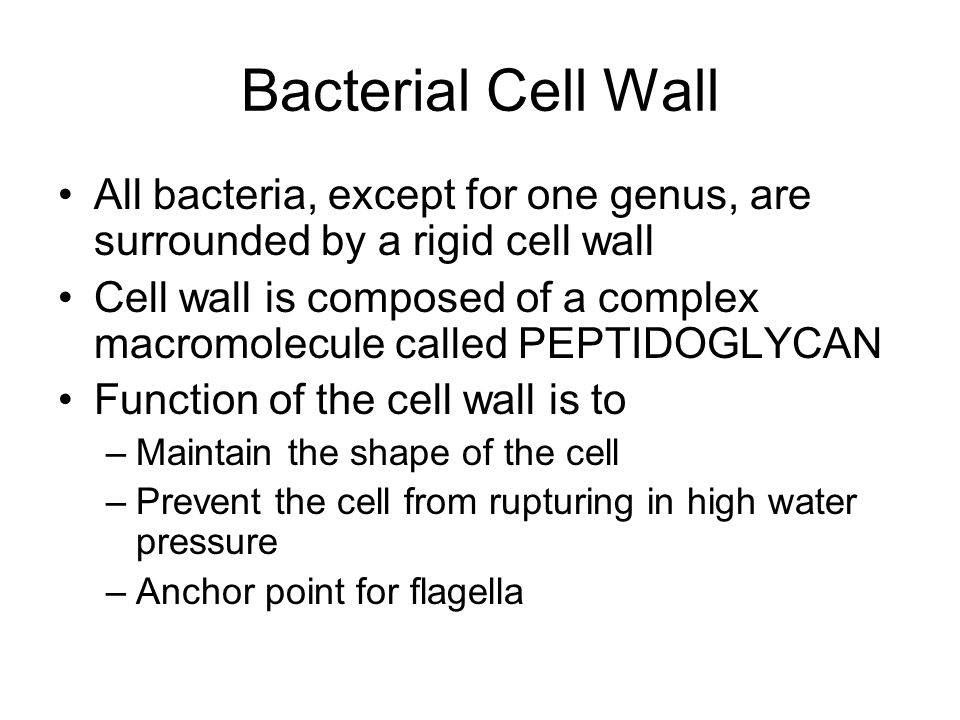 Bacterial Cell Wall All bacteria, except for one genus, are surrounded by a rigid cell wall.