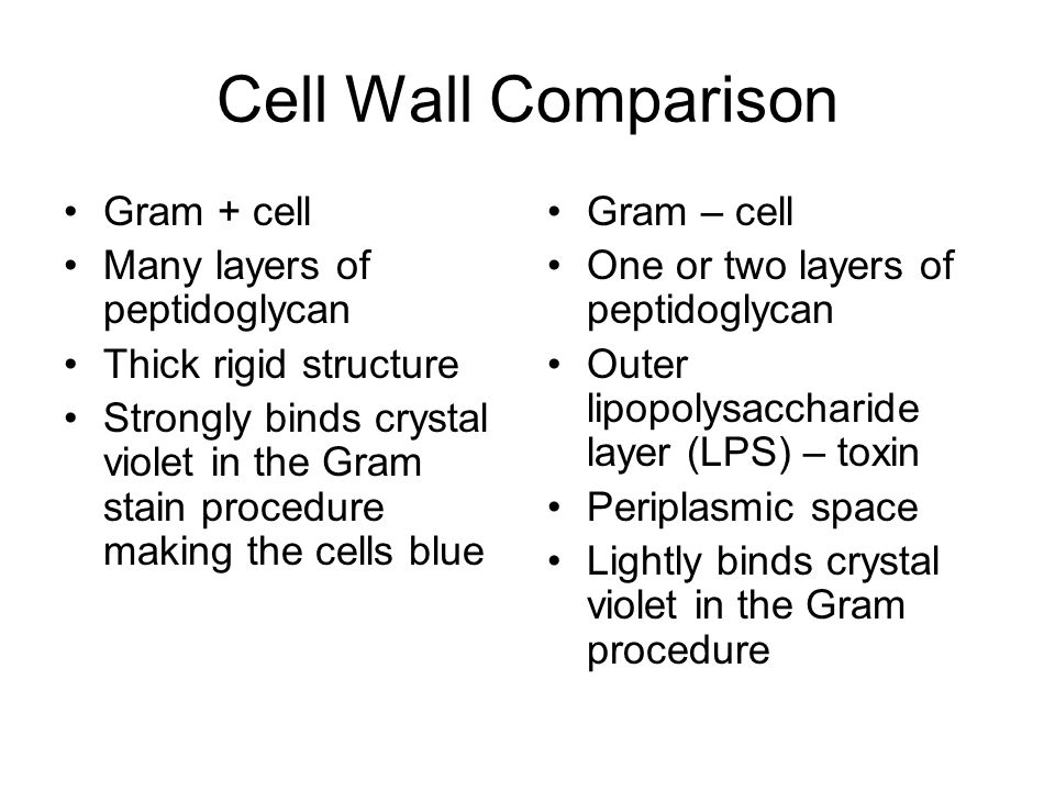 Cell Wall Comparison Gram + cell Many layers of peptidoglycan