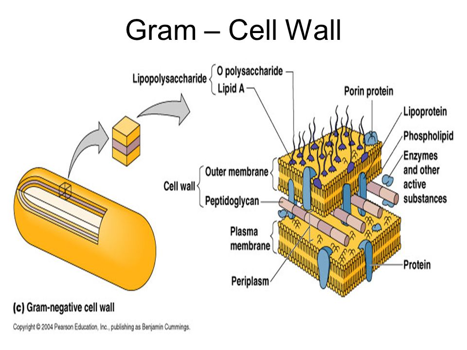 Gram – Cell Wall