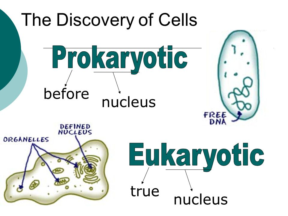 The Discovery of Cells Prokaryotic before nucleus Eukaryotic true
