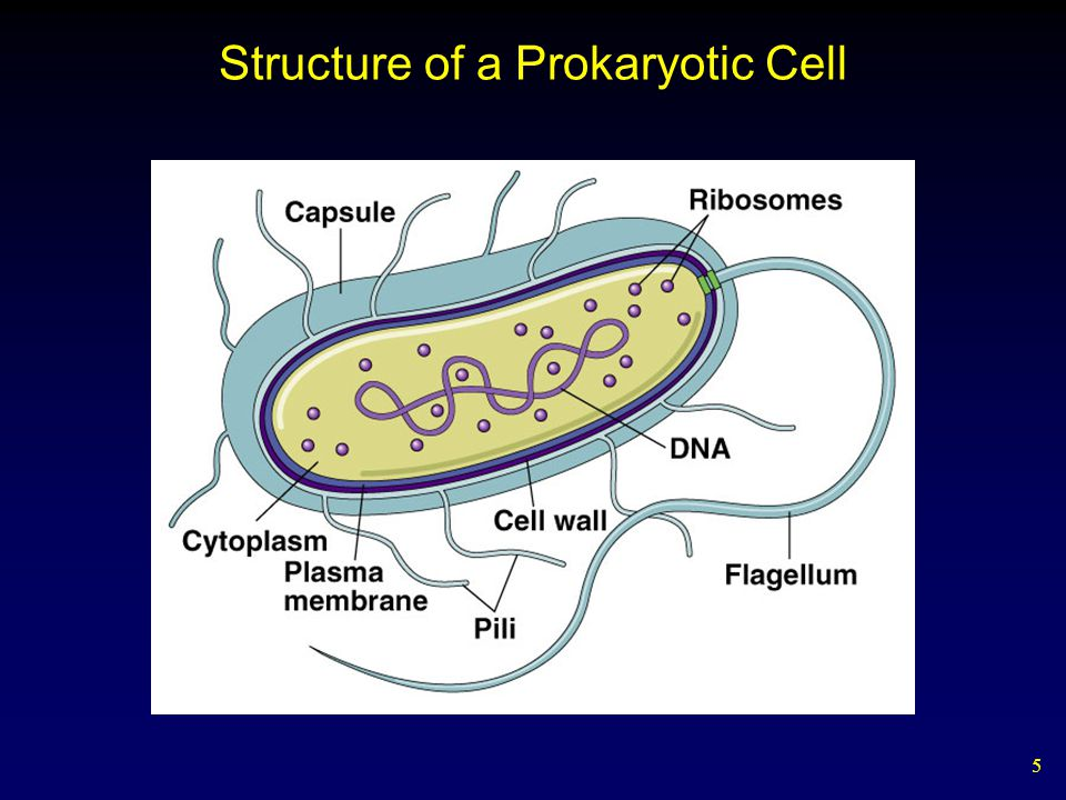 Structure of a Prokaryotic Cell
