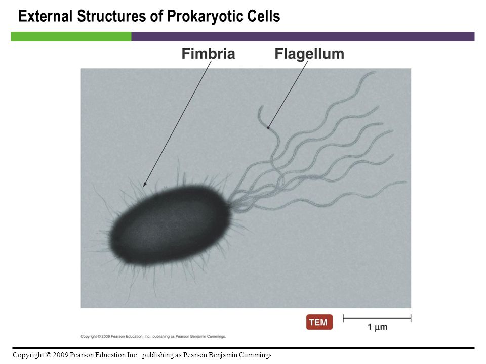 External Structures of Prokaryotic Cells