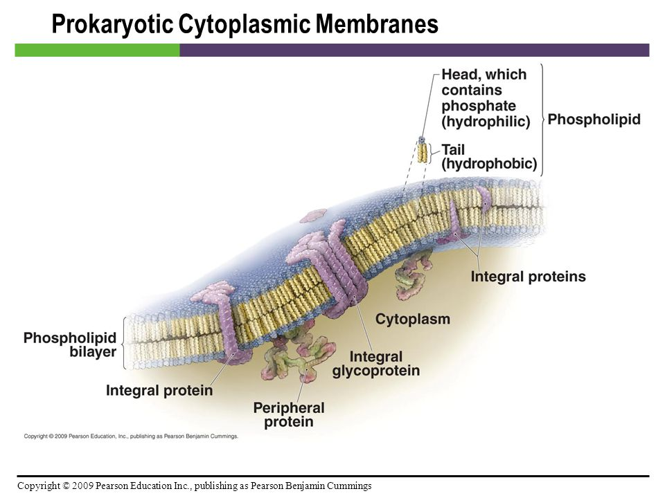 Prokaryotic Cytoplasmic Membranes