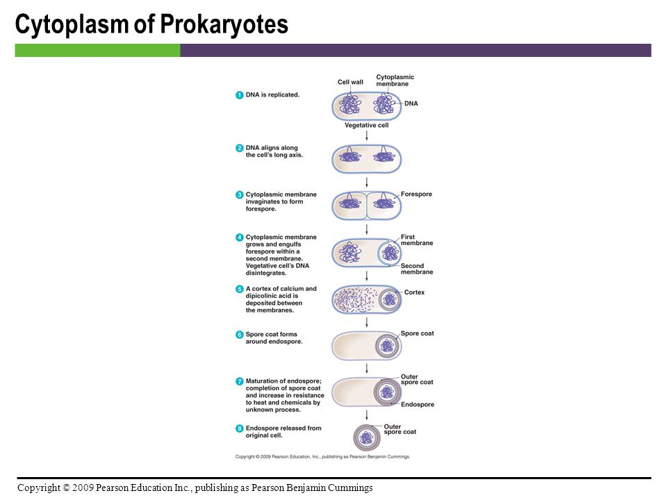 Cytoplasm of Prokaryotes