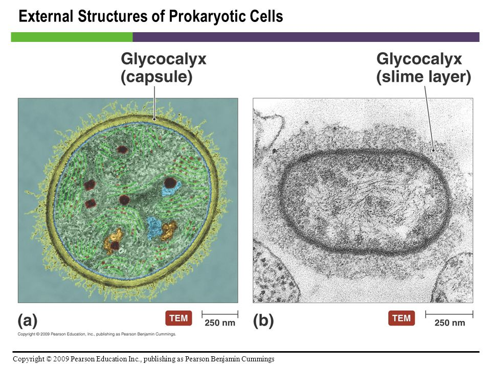 External Structures of Prokaryotic Cells