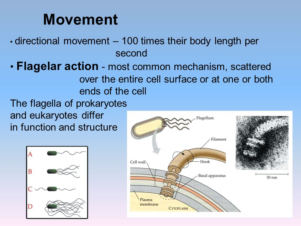 Movement second Flagelar action - most common mechanism, scattered