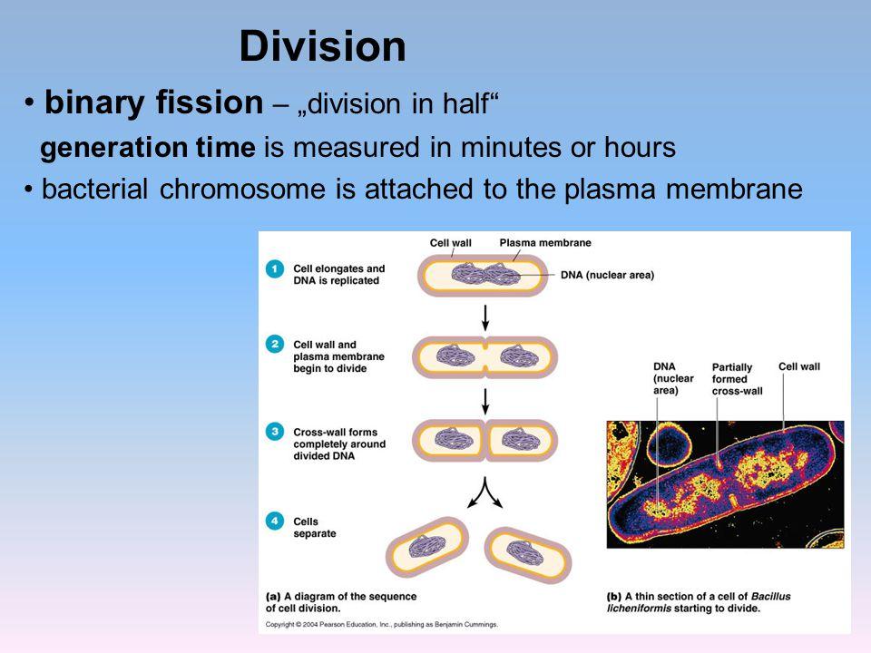 """Division binary fission – """"division in half"""