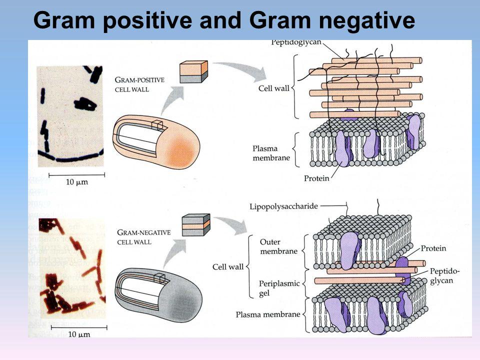 Gram positive and Gram negative