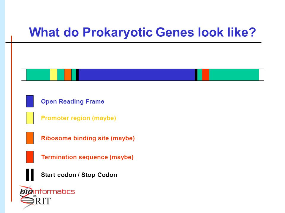 What do Prokaryotic Genes look like