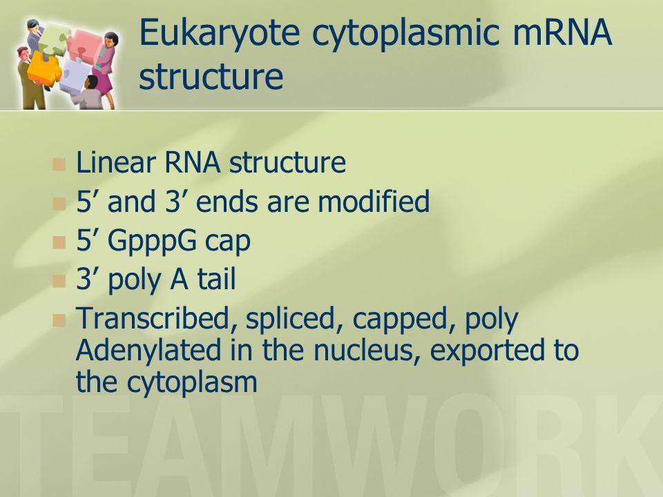 Eukaryote cytoplasmic mRNA structure