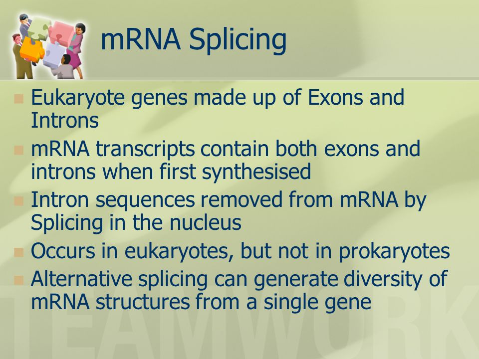 mRNA Splicing Eukaryote genes made up of Exons and Introns