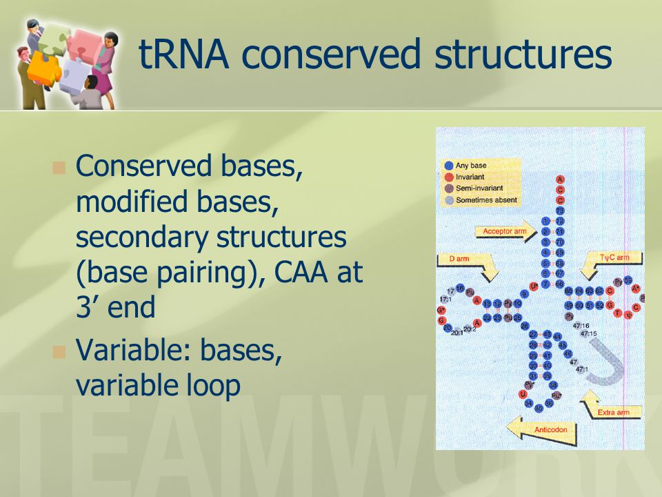 tRNA conserved structures