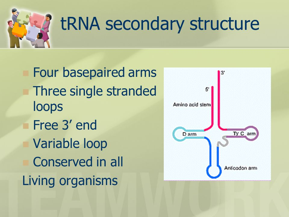 tRNA secondary structure