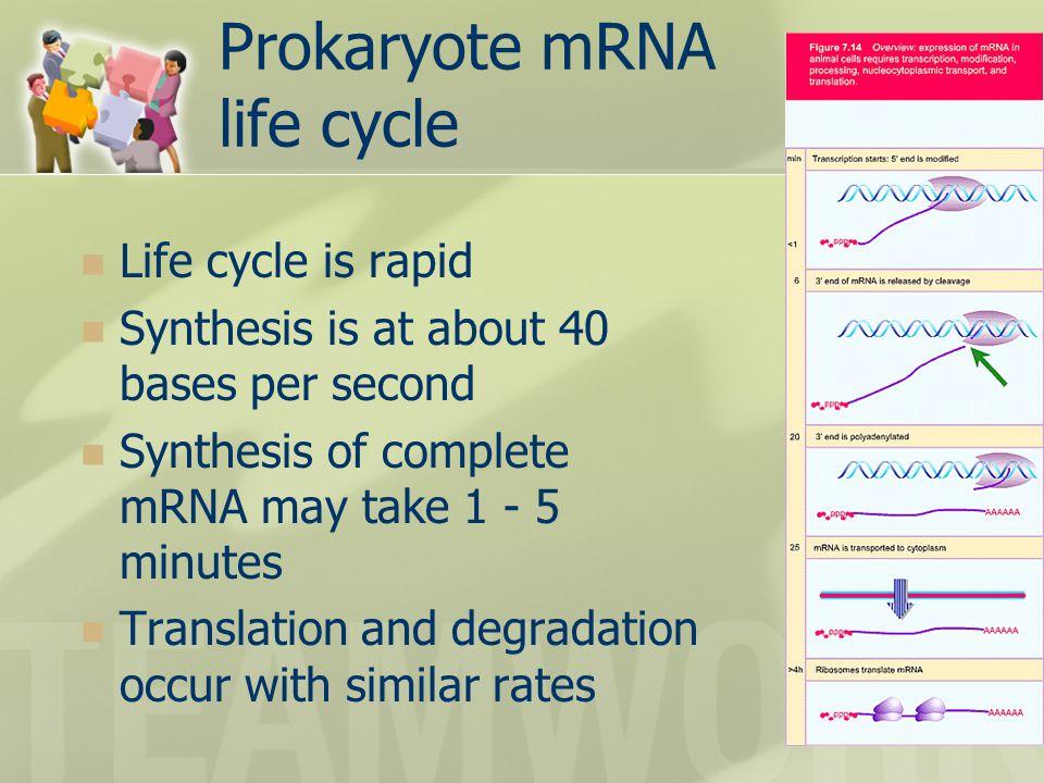 Prokaryote mRNA life cycle
