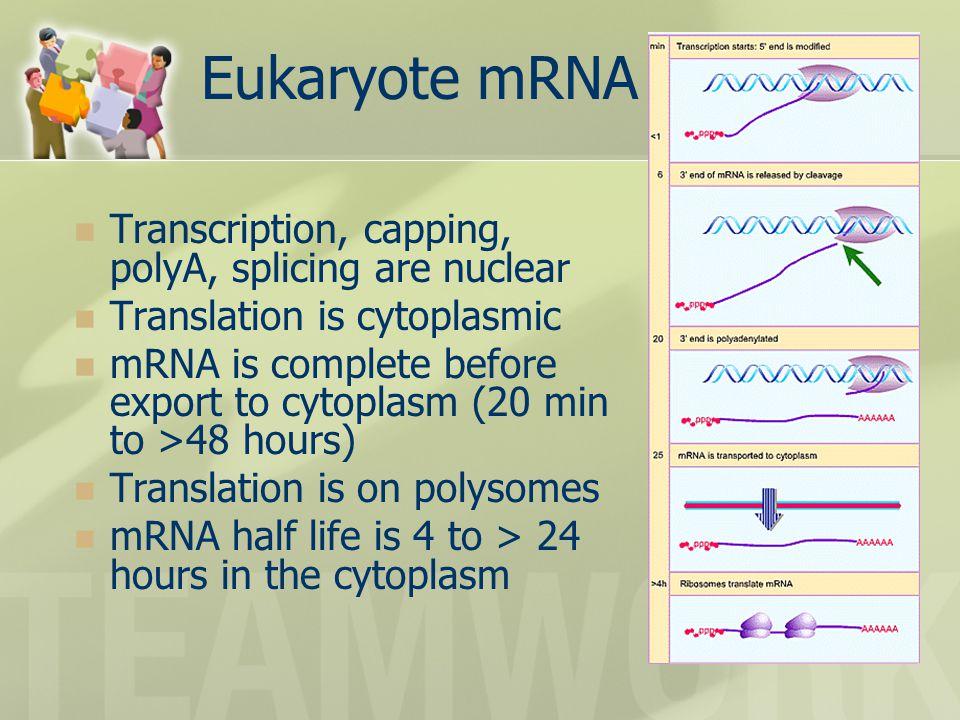 Eukaryote mRNA lifecycle