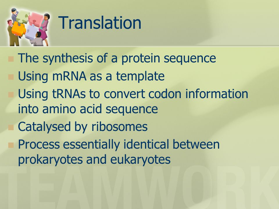 Translation The synthesis of a protein sequence