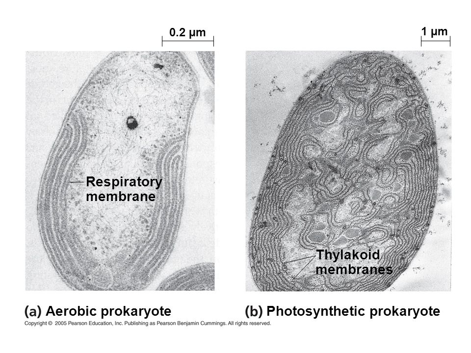 Photosynthetic prokaryote