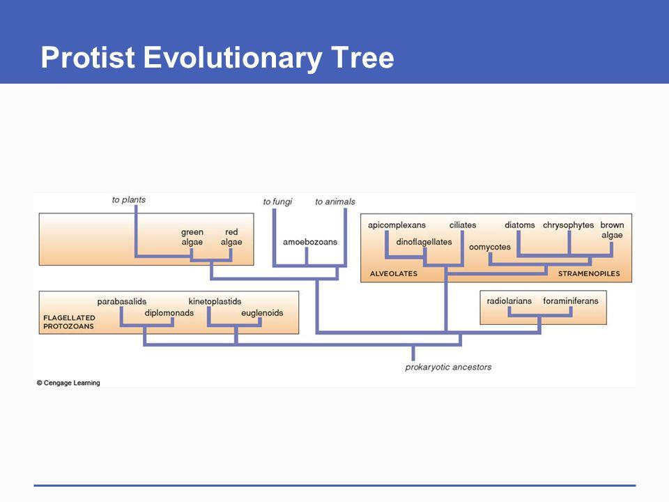 Protist Evolutionary Tree