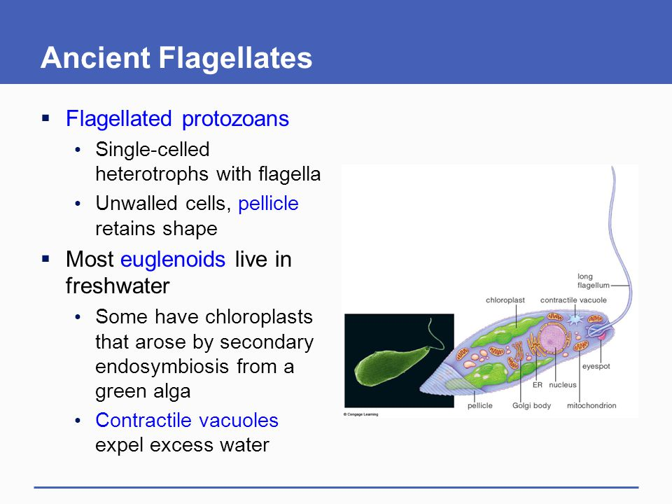 Ancient Flagellates Flagellated protozoans
