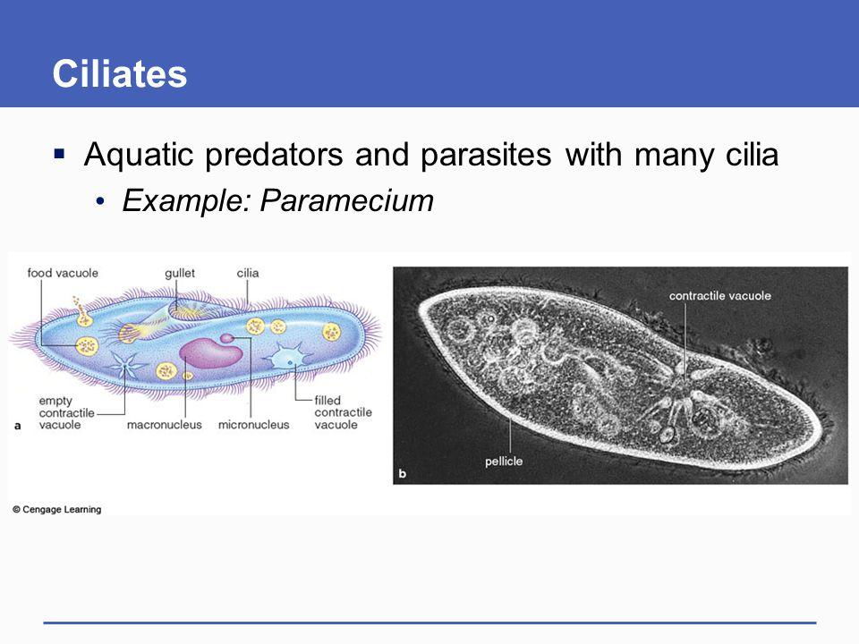 Ciliates Aquatic predators and parasites with many cilia
