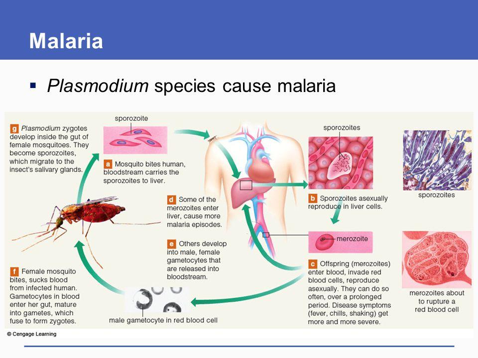 Malaria Plasmodium species cause malaria