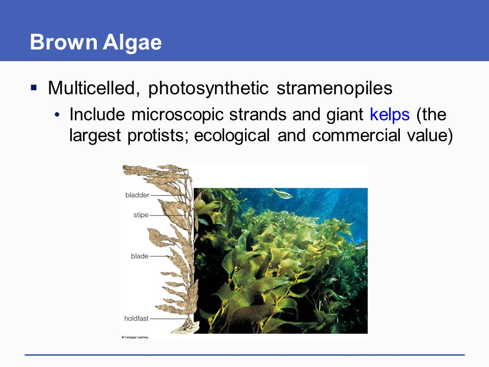 Brown Algae Multicelled, photosynthetic stramenopiles