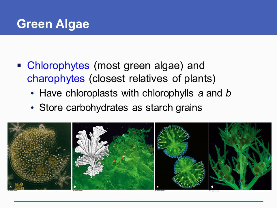Green Algae Chlorophytes (most green algae) and charophytes (closest relatives of plants) Have chloroplasts with chlorophylls a and b.