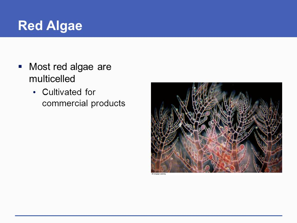 Red Algae Most red algae are multicelled