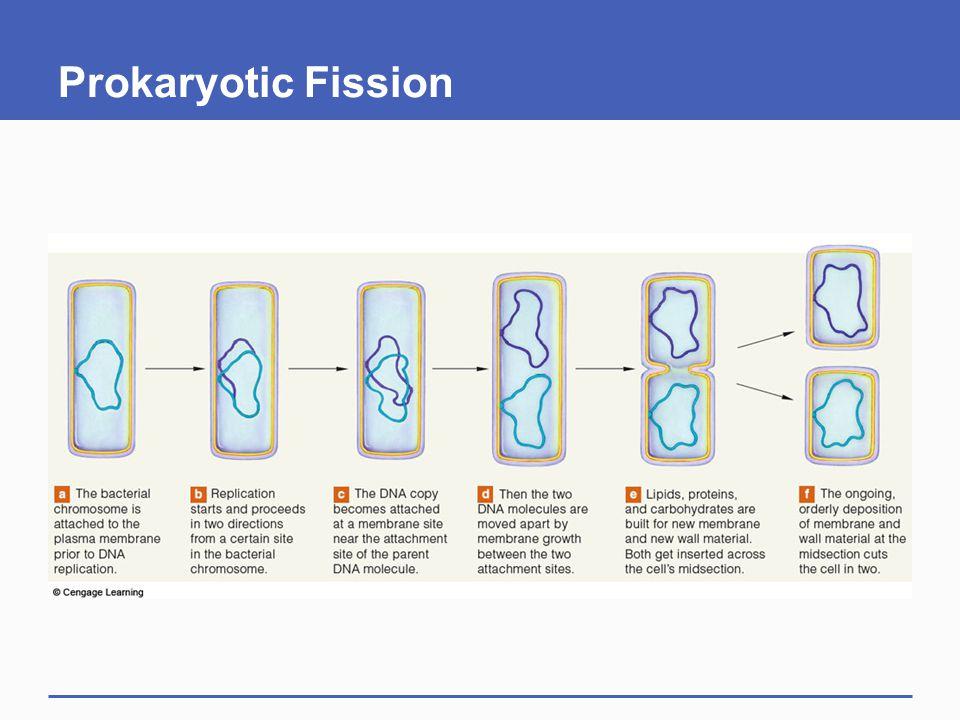 Prokaryotic Fission