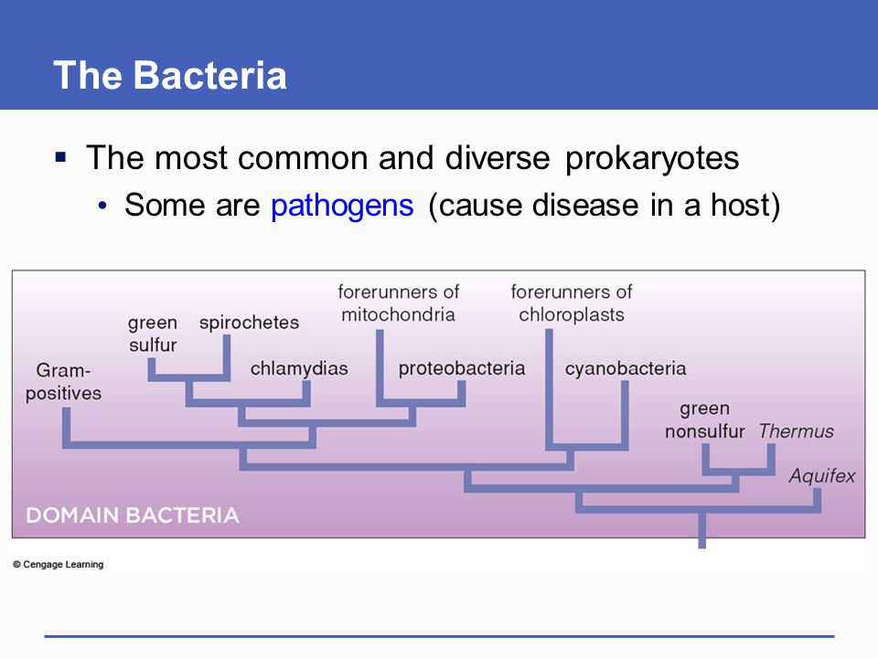 The Bacteria The most common and diverse prokaryotes
